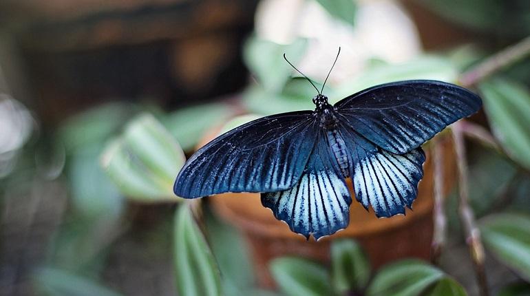 Петербургские ученые выяснили, чем нюхают бабочки