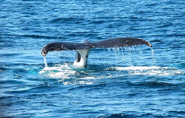 Ловец лобстеров из США выжил после того, как оказался во рту у кита
