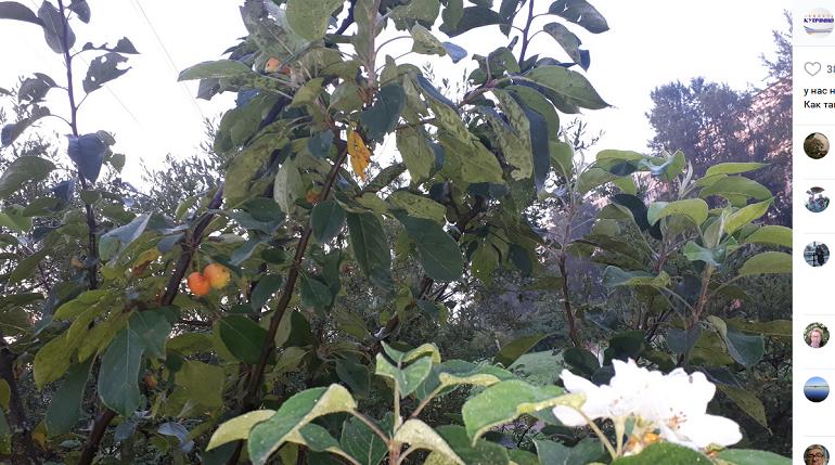 Чудо-то какое: в Купчино яблони перепутали время года и снова зацвели