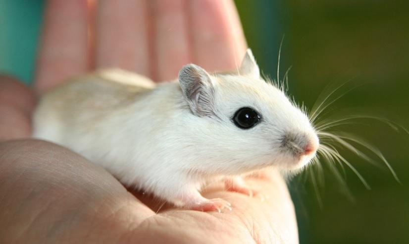 Китайским ученым впервые удалось провести роды у самцов крыс: грызунам сделали кесарево