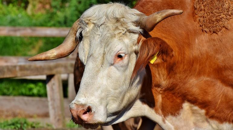 Бык насмерть забодал пастуха в Выборгском районе