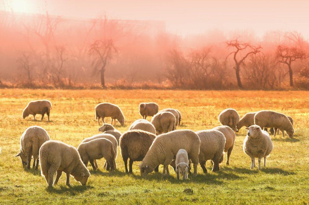В Великобритании украли 200 овец, подозревают специально обученных собак