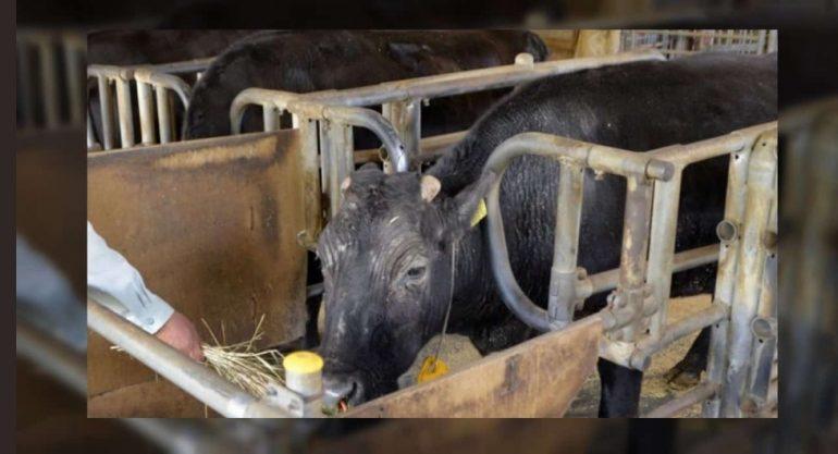 В Японии умерла первая в мире корова-клон