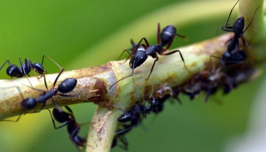 В Индии нашли муравьев, способных увеличивать, а затем уменьшать свой мозг
