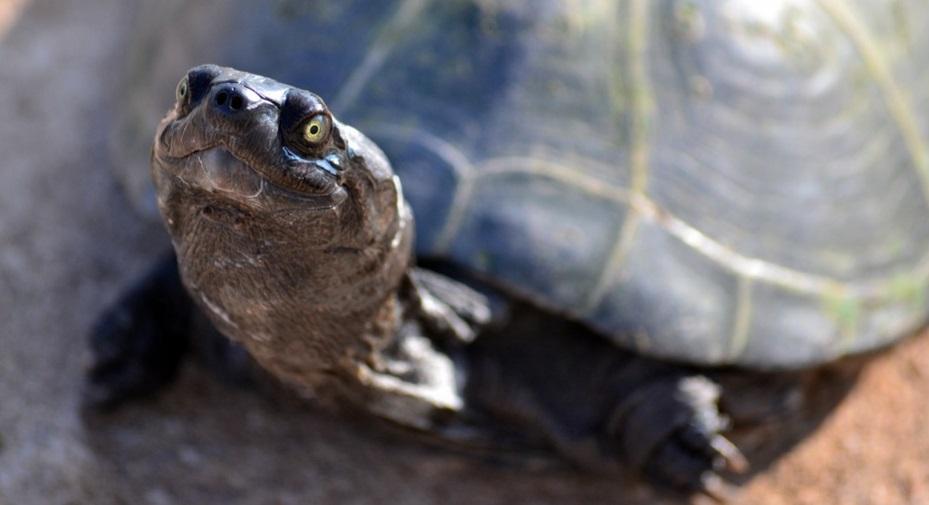 Гигантские черепахи оказались обучаемыми и общительными