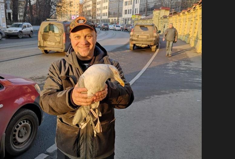 В Петербурге спасли чайку-бургомистра, запутавшуюся в проводах