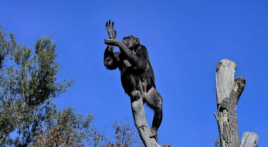 Шимпанзе помогли ученым понять, как люди научились танцевать