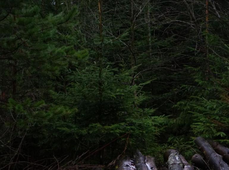 Ленобласть перевыполнила план по восстановлению лесов на 105%
