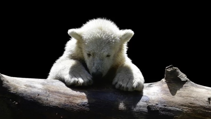 Белые медведи осаждают село на Чукотке