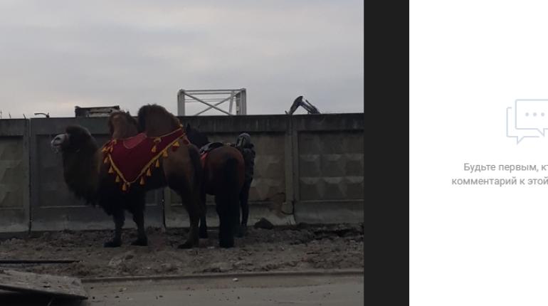 «Ничего необычного»: в Шушарах припарковался верблюд, а осел тянул карету