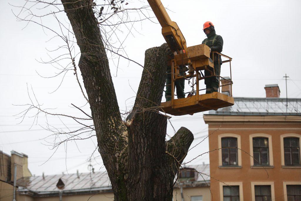 Пережившим вырубку тополям на Грибоедова дали еще пять дней жизни