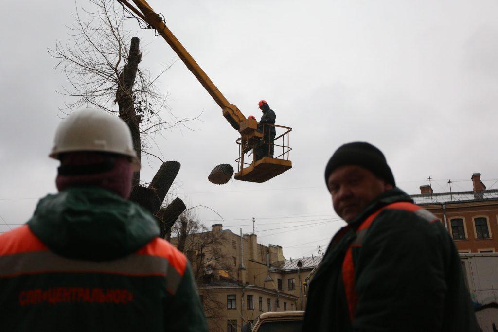 Тополя на Грибоедова осмотрят ученые