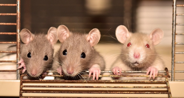 Крысы отказались вредить сородичам даже за кусочек лакомства