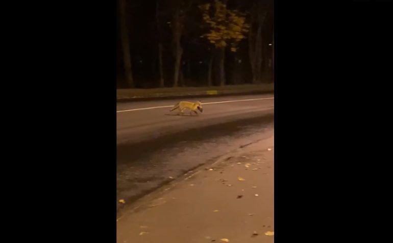 Лиса поймала утку прямо на дороге в Петергофе
