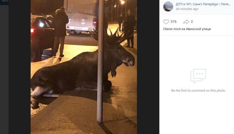 В Петербурге авто переломало ноги лосю на Ивинской улице