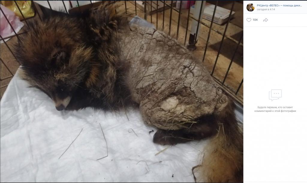 Умирающую самку енотовидной собаки нашла в сарае петербурженка