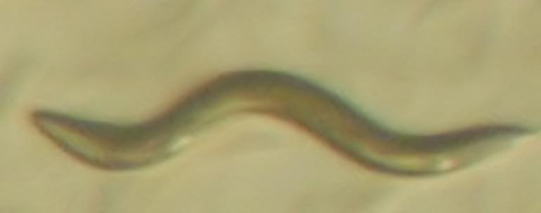 Ученые смогли продлить жизнь червям в шесть раз