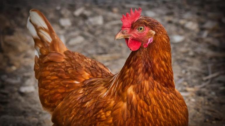 Ученые улучшили графен куриным пометом