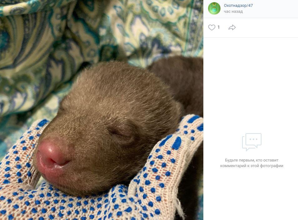 Найденную новорожденную медведицу в Гатчинском районе отправят в Тверскую область