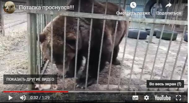 «Зима не пыталась начинаться»: медведь Потапка из «Велеса» проснулся в январе