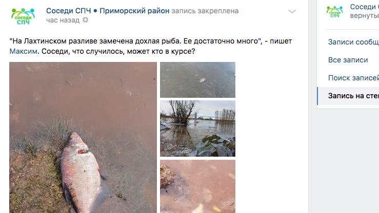 В Лахтинском разливе у «Лахта центра» массово дохнет рыба