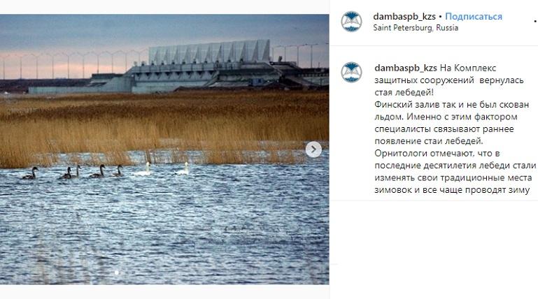 Стая лебедей вернулась к дамбе, где так и не замерз Финский залив