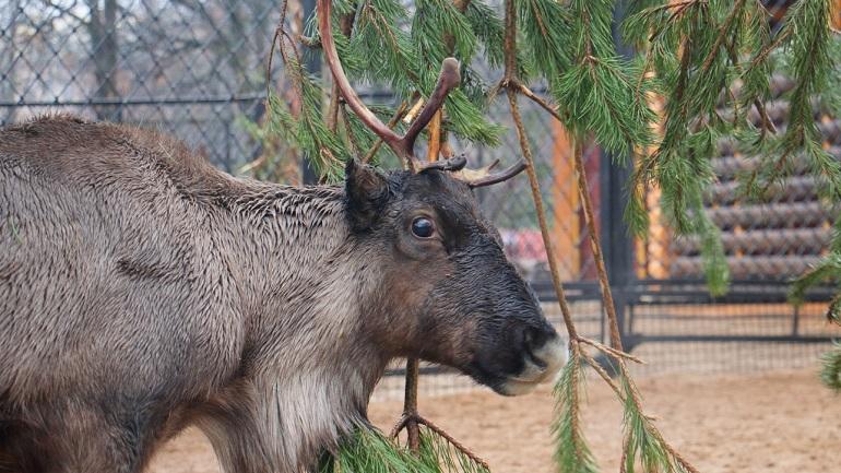 Ленинградский зоопарк завалили сотнями елок, но ККИ приехал только раз