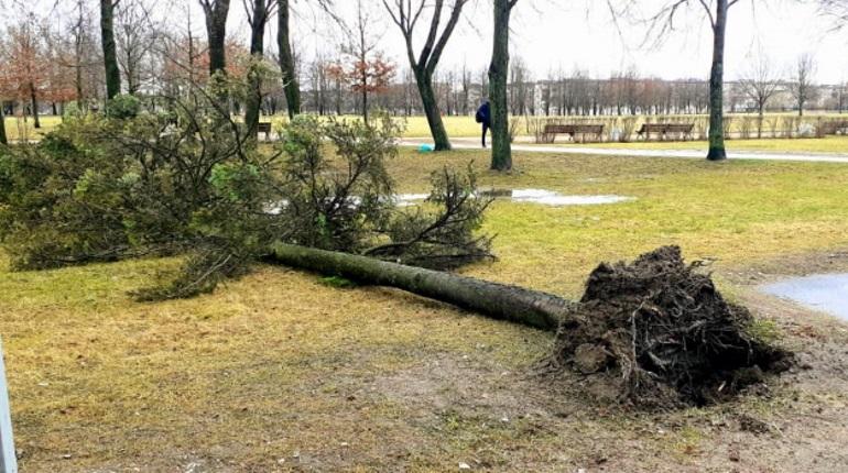 Ураган свалил 20 деревьев в Петербурге. Больше всего пострадала Петроградка