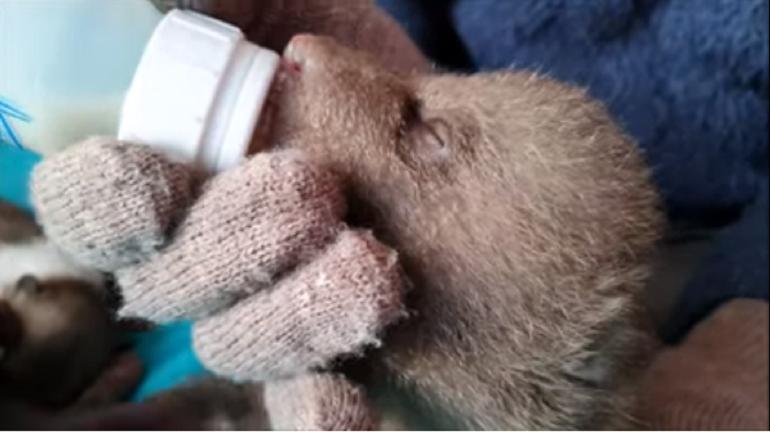 Медвежонок-сирота Маша из Гатчины завела друзей и набирает вес