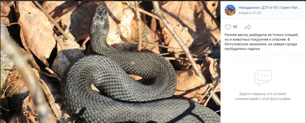 Вялые гадюки в лесах под Петербургом: весеннее солнце разбудило змей