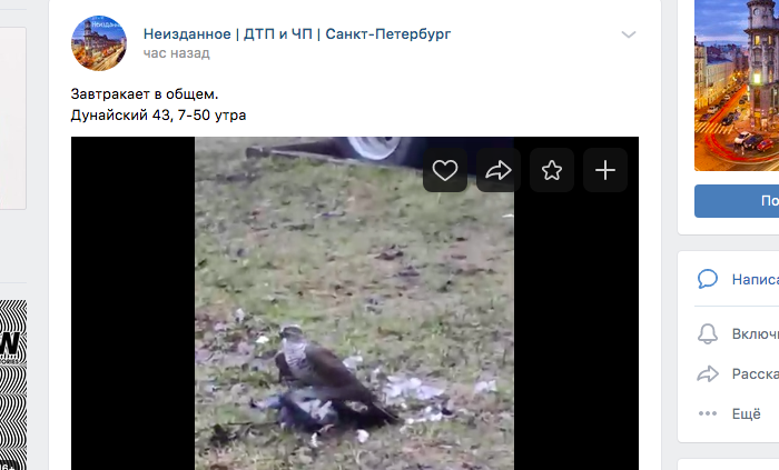 Петербуржцев удивил сапсан, «завтракающий» голубем на Дунайском