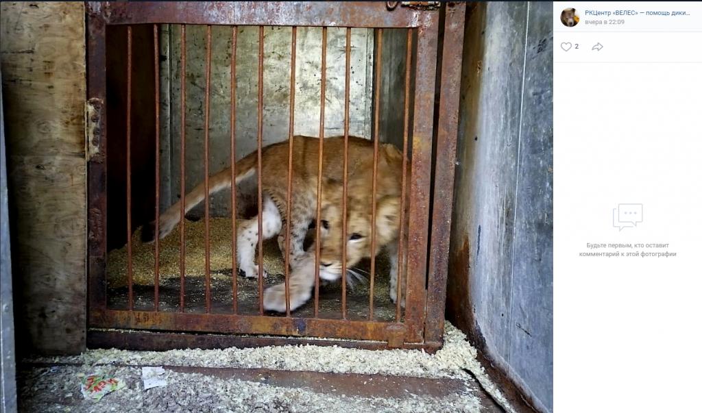 Истощенную львицу Киару доставили в петербургский «Велес»