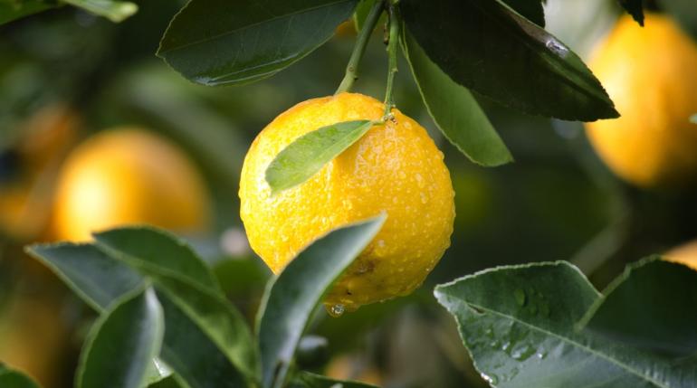 ФАС ждет падения цен на лимоны