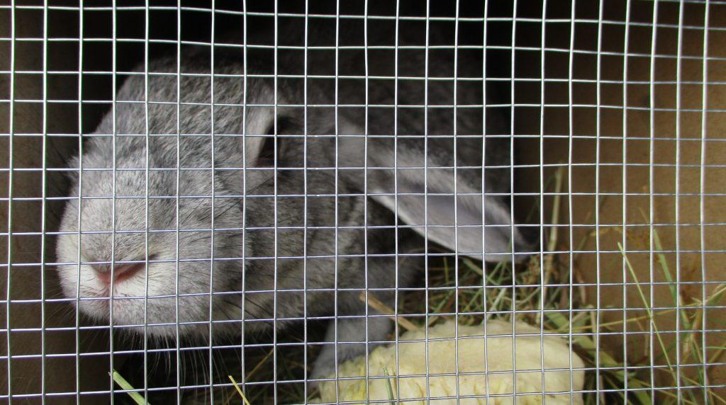 В Пулково 50 кроликов успешно прошли ветконтроль