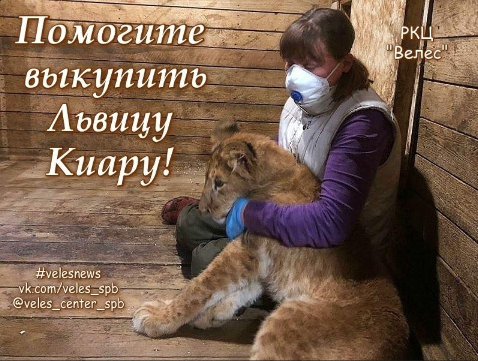 Прибывшая в петербургский центр «Велес» львица Киара ушла на карантин