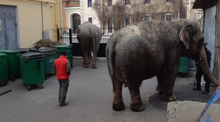 Самоизоляция в Цирке на Фонтанке: слоны гуляют во дворе