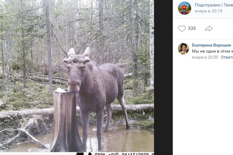 Волки, медведь и лоси: кого поймала фотоловушка в лесу Ленобласти