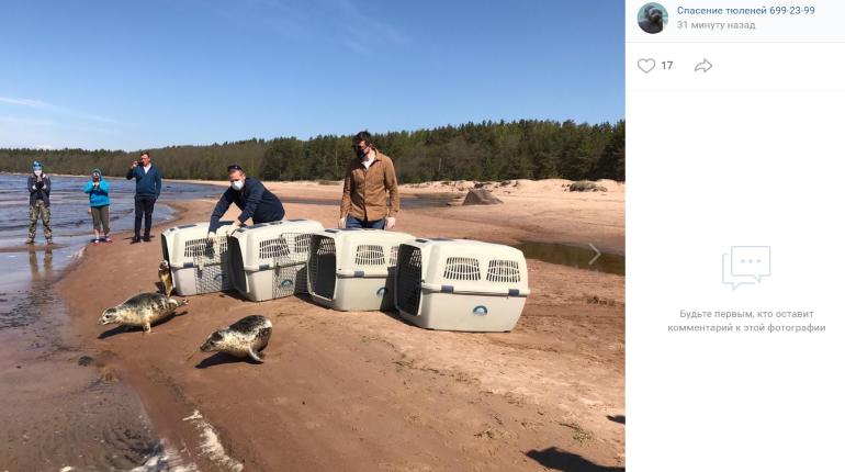Залп из торпедного аппарата: как в Финский залив выпустили четырех серых тюленят