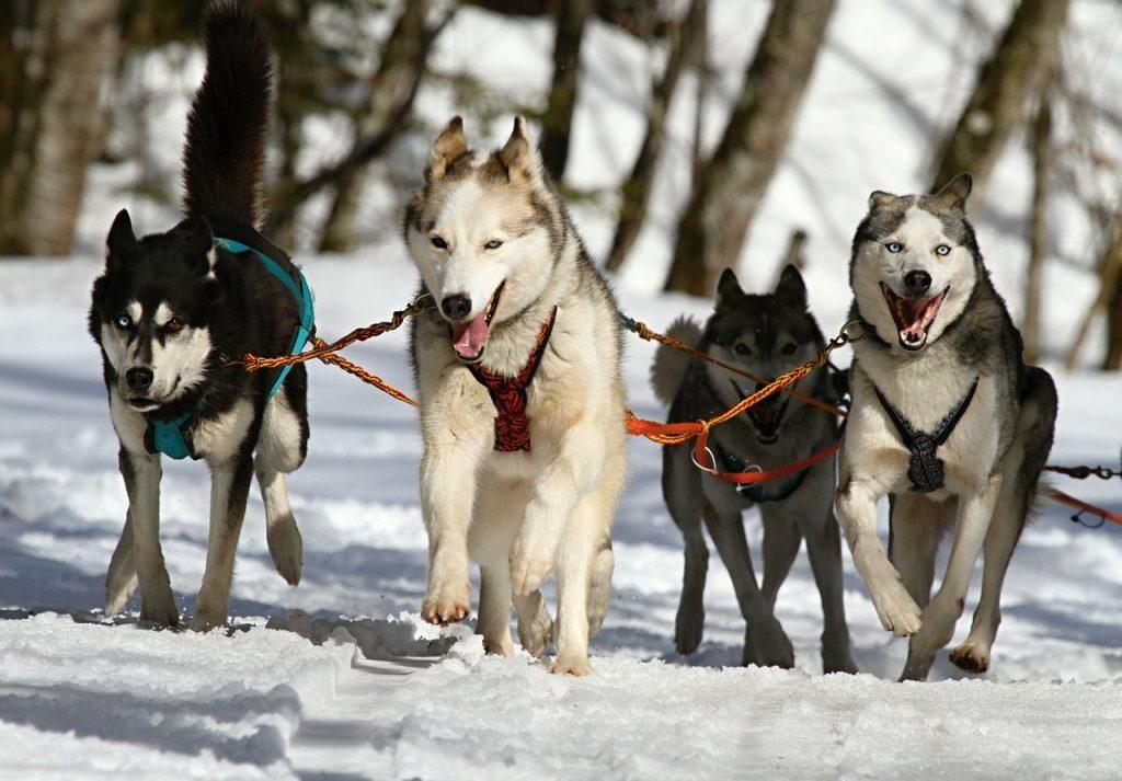Ученые: предок всех ездовых собак появился в Сибири