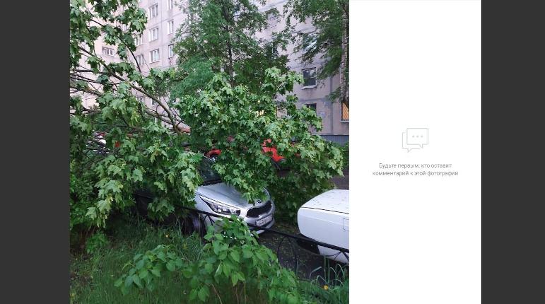 В Купчино рухнувший клен повредил несколько автомобилей