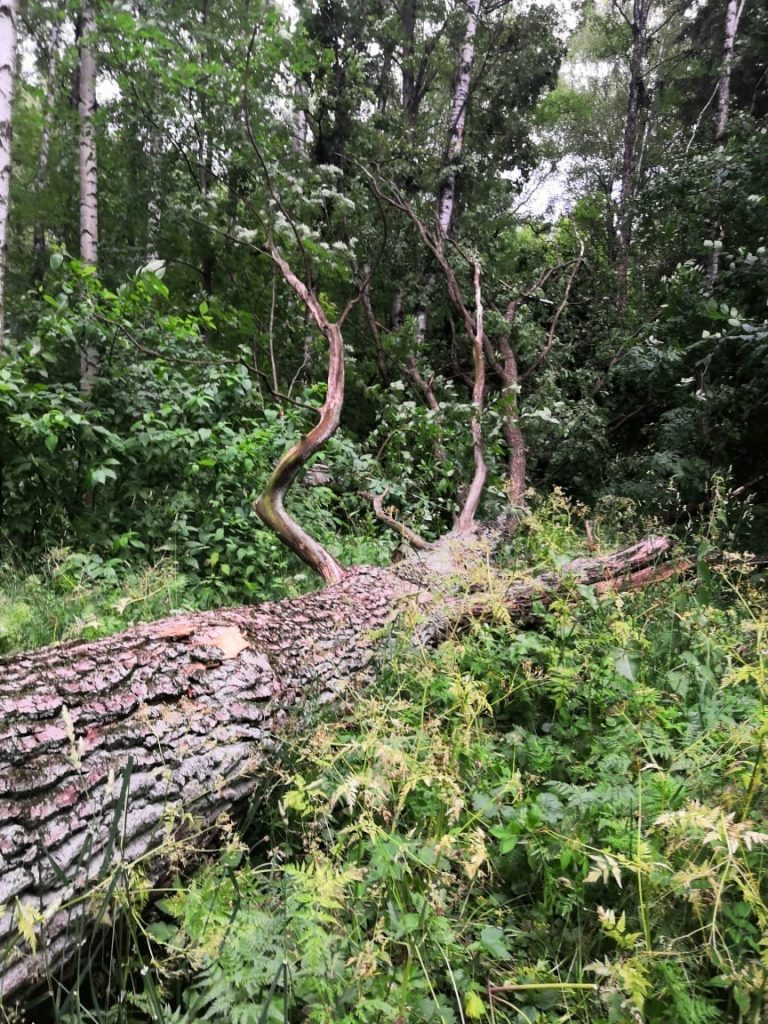 В ЦПКиО упало два 25 метровых старых дуба