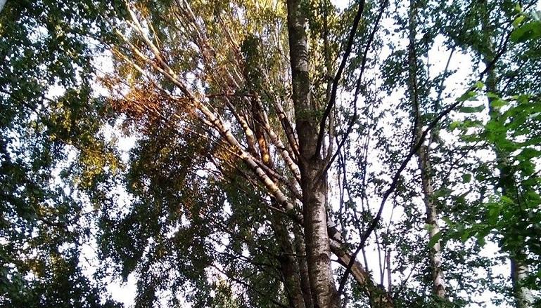 «Разломался пополам»: в Озерках упало дерево в частном секторе