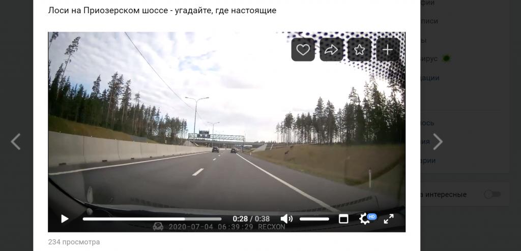 Петербуржцы заметили лосей на Приозерском шоссе