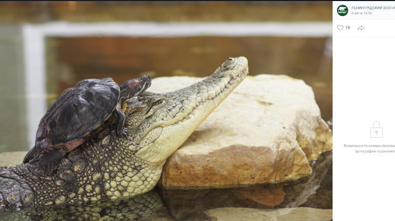 Учёные доказали, что аллигаторы могут регенерировать конечности
