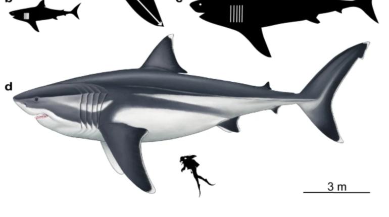 Ученые выяснили точные размеры доисторической акулы мегалодона