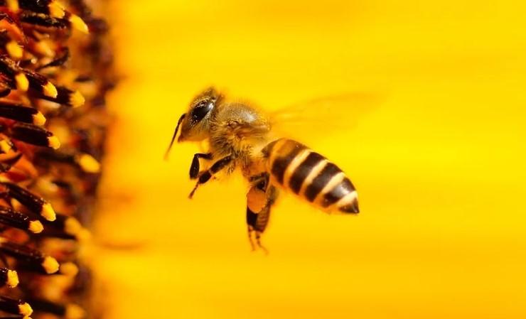 Пчёлы поддаются дрессировке. Фото: Рixabay