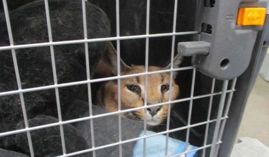 Кошка Белла породы каракет. Фото: Россельхознадзор