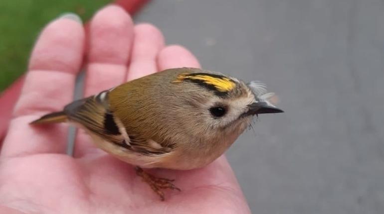 Самая маленькая птичка Европы оказалась в Петербурге