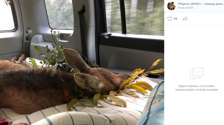 В центре «Велес» спасают брошенного лосенка Гошу