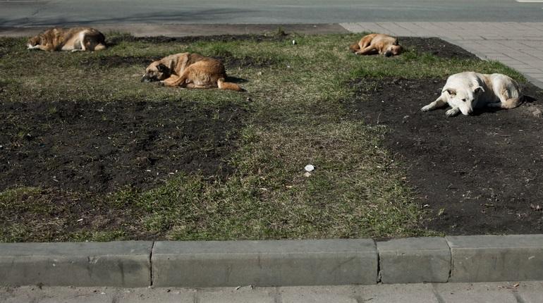 Жители Каменногорска заявили о нападениях бездомных собак на детей